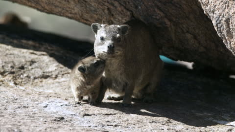 lockdown: sweet baby badger smelling the neck of mother under a big rock - augrabies falls national park, south africa - 有袋類点の映像素材/bロール