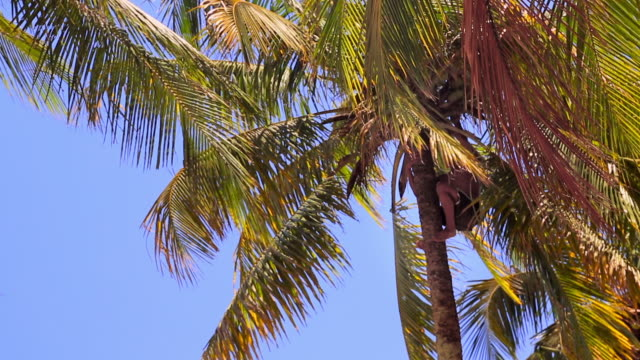 lockdown: traversing the tree and collecting fruit - coconut palm tree stock videos & royalty-free footage