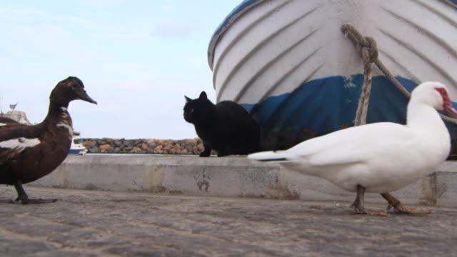 lockdown: two ducks wander on a rocky peer while a black cat watches on - 黒猫点の映像素材/bロール