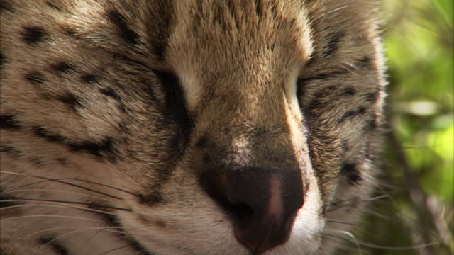 Locked off shot of a Serval sitting down Available in HD
