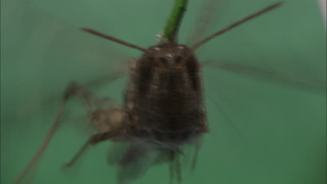 a locust attached to a rod flaps its wings rapidly. - gliedmaßen körperteile stock-videos und b-roll-filmmaterial