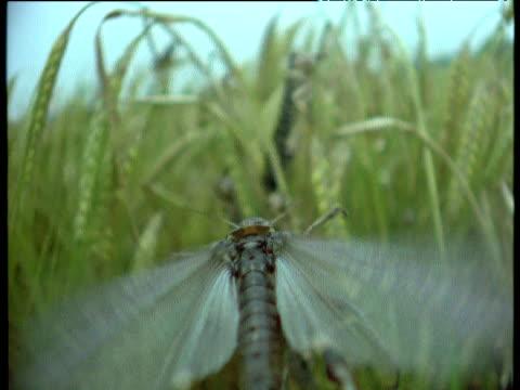 locust in flight lands on crop, africa - skadedjur bildbanksvideor och videomaterial från bakom kulisserna