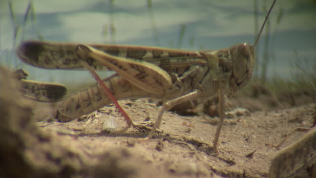A locust moves its legs as it stands on dirt.