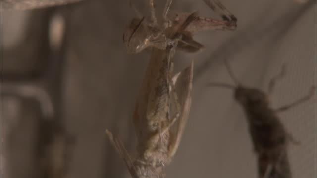 vidéos et rushes de a locust sheds its skin. - exosquelette d'animal