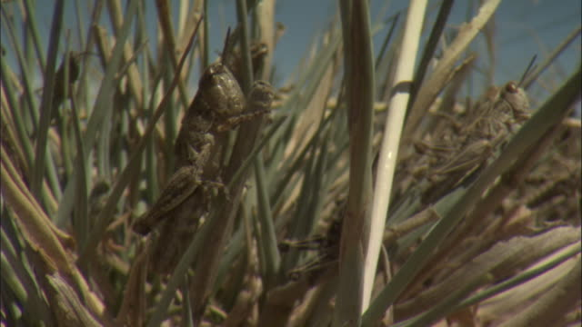 locusts climb blades of grass. - swarm of insects stock videos & royalty-free footage