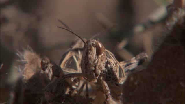 vidéos et rushes de locusts collide as they hop around. - camouflage