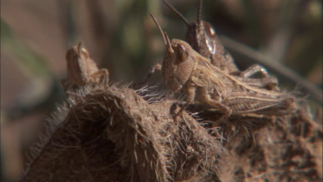 locusts rest on a fuzzy surface. - camouflage点の映像素材/bロール