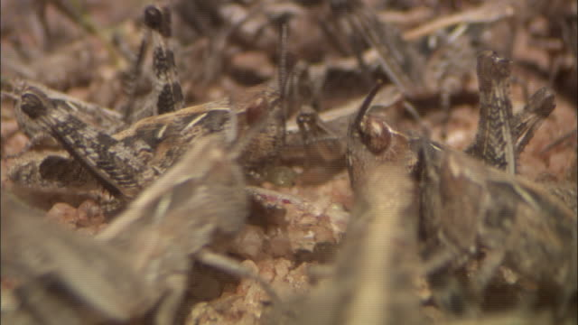locusts swarm around food. - swarm of insects stock videos & royalty-free footage