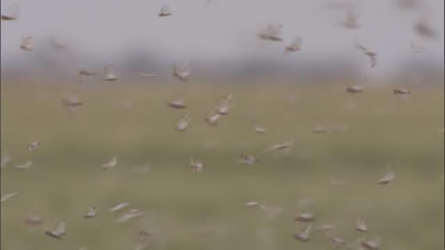 vídeos de stock e filmes b-roll de locusts swarm past two men walking in a grassy field. - grupo mediano de animales