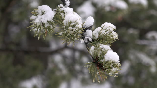 Lodgepole pine branches with snow and ice, Yellowstone National Park, winter