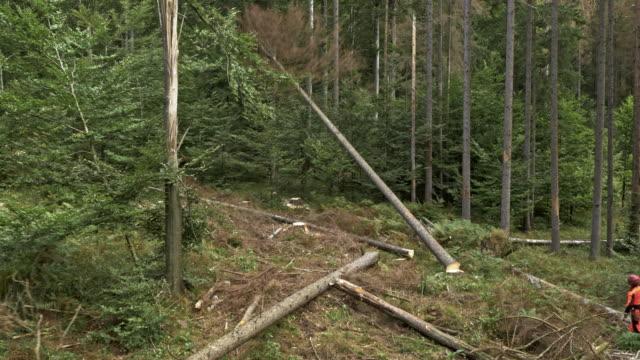 stockvideo's en b-roll-footage met luchtfoto logger kappen van een boom - afdalen