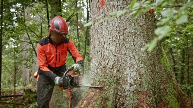 vídeos de stock, filmes e b-roll de registrador de cortar uma árvore com motosserra - forester