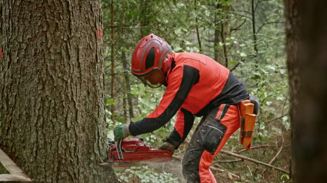 Logger making a cut into a tree with chainsaw