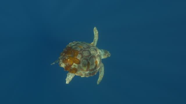 loggerhead sea turtle diving into the deep - loggerhead sea turtle stock videos & royalty-free footage