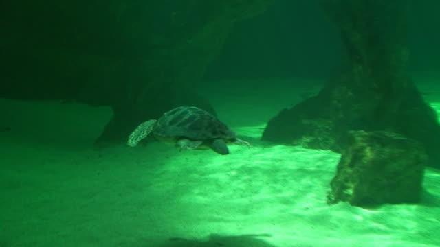 Loggerhead Sea Turtle in the aquarium