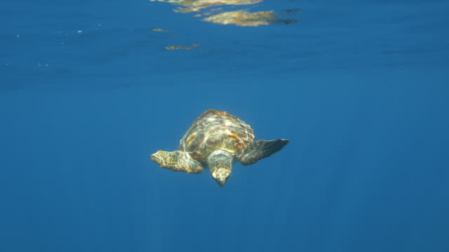 loggerhead sea turtle in the blue - 40 seconds or greater stock videos & royalty-free footage