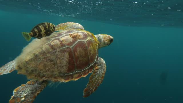 loggerhead sea turtle swimming along fish in blue sea, person filming marine wildlife in ocean - azores, portugal - loggerhead sea turtle stock videos & royalty-free footage
