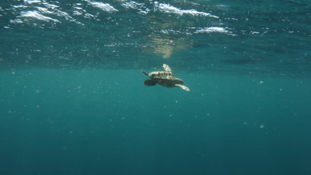 loggerhead sea turtle swimming by person undersea - azores, portugal - loggerhead sea turtle stock videos & royalty-free footage