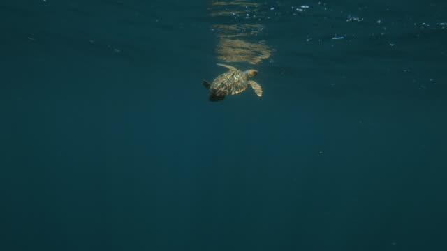 loggerhead sea turtle swimming underwater - azores, portugal - loggerhead sea turtle stock videos & royalty-free footage