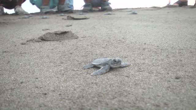 Loggerhead sea turtles also known as 'caretta caretta' make their way to the sea in Hatay Turkey on August 20 2016 Loggerhead sea turtles are...