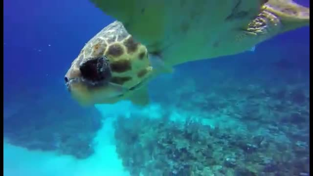 loggerhead sea turtles are extremely rare and few scuba divers ever get a close look at one underwater. they are massive animals, capable of reaching... - aqualung diving equipment stock videos & royalty-free footage