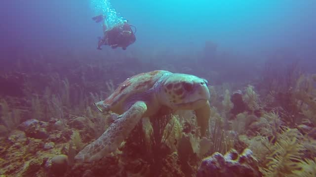 loggerhead sea turtles are the second largest of the living turtles, capable of growing to almost 2m in length and weighing up to 450kg . the average... - caretta caretta stock videos & royalty-free footage