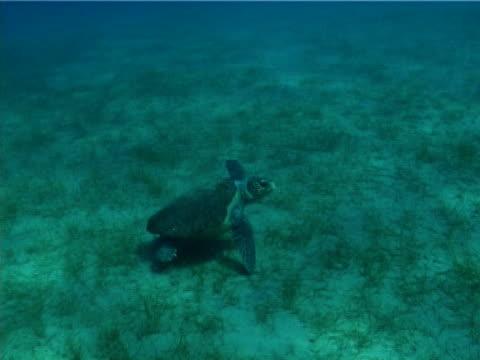 vidéos et rushes de loggerhead turtle. greece, mediterranean - culture méditerranéenne
