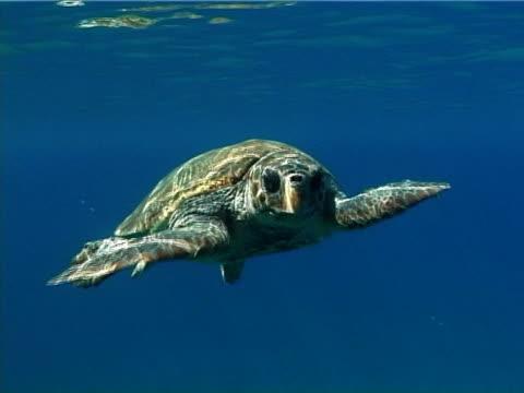 Loggerhead turtle. Greece, Mediterranean