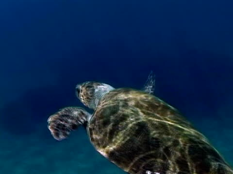 loggerhead turtle (caretta caretta), greece, mediterranean - loggerhead sea turtle stock videos & royalty-free footage