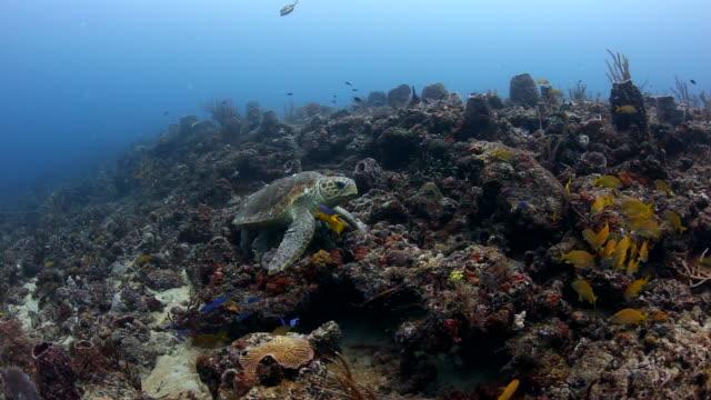 loggerhead turtle resting on a coral reef - loggerhead sea turtle stock videos & royalty-free footage