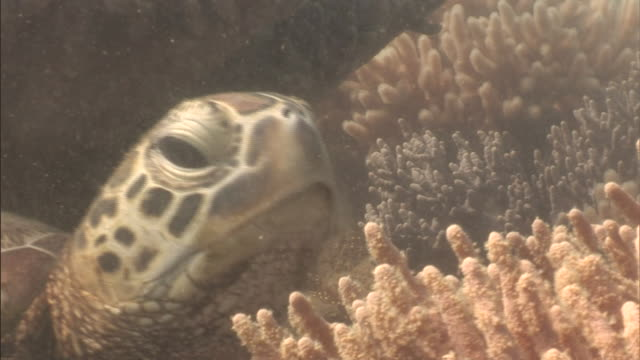 a loggerhead turtle slowly moves out from under corals in the great barrier reef. - loggerhead sea turtle stock videos & royalty-free footage