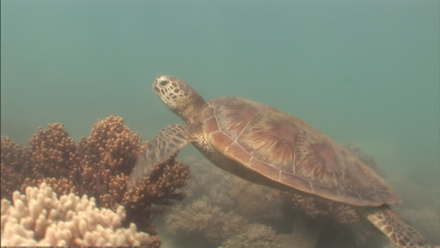 a loggerhead turtle swims above corals in the great barrier reef. - loggerhead sea turtle stock videos & royalty-free footage
