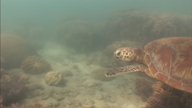 a loggerhead turtle swims near corals in the great barrier reef. - loggerhead sea turtle stock videos & royalty-free footage