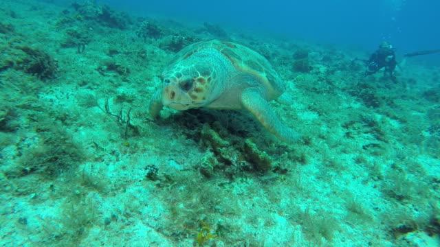 loggerhead turtle - loggerhead sea turtle stock videos & royalty-free footage