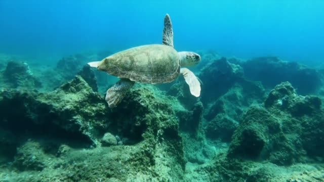 loggerhead turtles are in mortal danger from birth seconds after hatching a newborn must evade predators just to make it to sea and then swim non... - loggerhead sea turtle stock videos & royalty-free footage