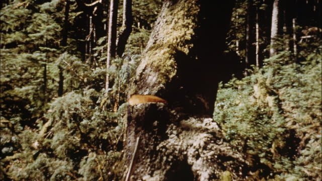 Loggers cut down trees in a forest; a truck and a tug in a lake transport logs down to the mill.