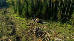 Logging machine cutting down trees, cutting branches and laying trunks for further transportation to the woodworking factory