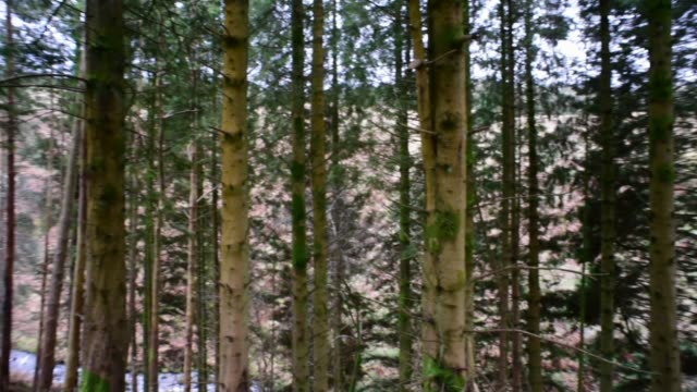 logging pines in a woodland copse in south ayrshire. - david johnson stock videos & royalty-free footage