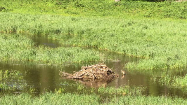 logs in the middle of a stream carried by a beaver with plenty of grass around - aquatic organism stock videos & royalty-free footage