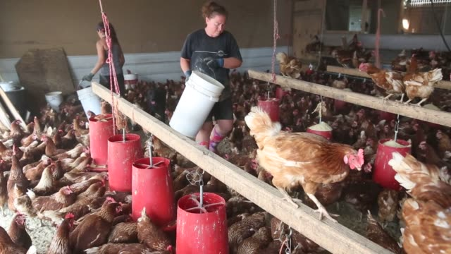lohmann brown chickens stand in a barn at meadow haven farm, a certified organic family run farm, in sheffield, illinois, u.s., on tuesday, aug. 4,... - avian flu virus stock videos & royalty-free footage
