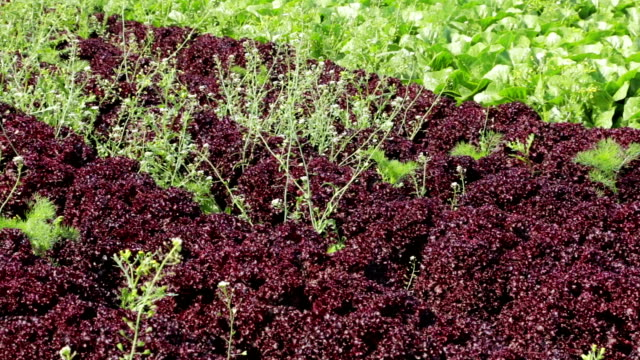 lollo rosso lettuce - rosso stock videos & royalty-free footage