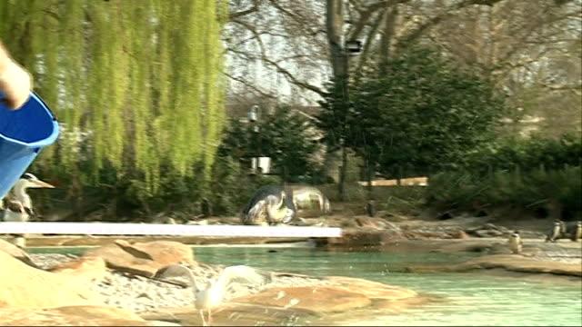 penguins at london zoo get diving board side view penguin diving from board into water penguins swimming underwater ends - flightless bird stock videos & royalty-free footage