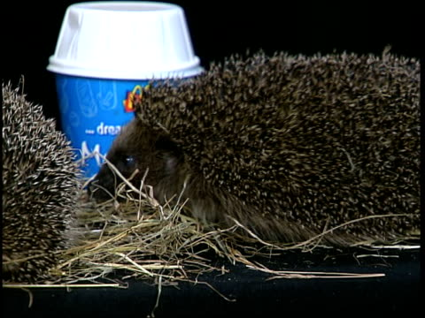 london int cms hedgehog in some straw next to a mcdonald's mcflurry container cs hedgehog with mcflurry carton in b/g - mcdonald's stock videos and b-roll footage