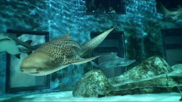 london int dogfish shark swimming towards and past in tank at london aquarium - dogfish stock videos & royalty-free footage