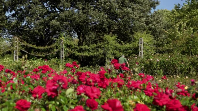 london regent's park queen mary's garden - rose stock videos & royalty-free footage