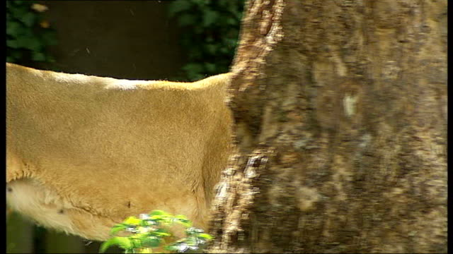 regents park zoo: ext good shots of asian lions resting in enclosure paul kybett interview sot more good shots of lions including 'lucifer' marking... - enclosure stock videos & royalty-free footage