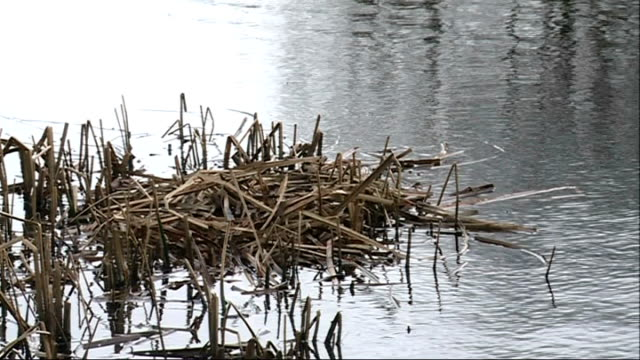 stockvideo's en b-roll-footage met london wetland centre pair of coot birds in water john arbon interview sot cutaway coot nest platform and coot in water plant and trees blowing in... - koet