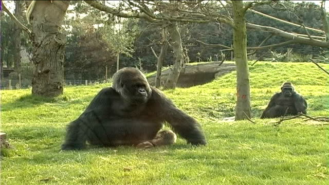 london zoo acquires world's smallest monkeys r29030701 large male gorilla moving around in enclosure - enclosure stock videos & royalty-free footage