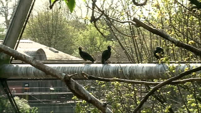 London Zoo backs campaign to protect most endangered birds Carly Waterman interview SOT Various shots Northern Bald Ibis birds at zoo High angle shot...