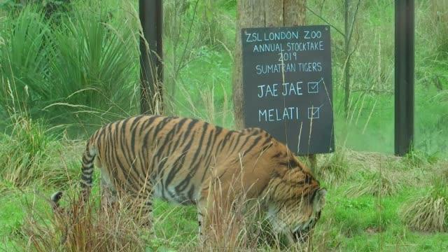stockvideo's en b-roll-footage met london zoo begins annual stocktake of animals england london zsl london zoo ext notice at sumaran tiger enclosure jae jae and melati / tiger jae jae... - omsloten ruimte